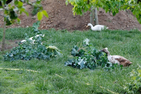 ducks and hens eating the last of the psb