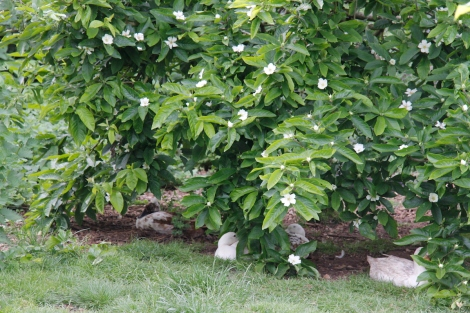 ducks under the medlar