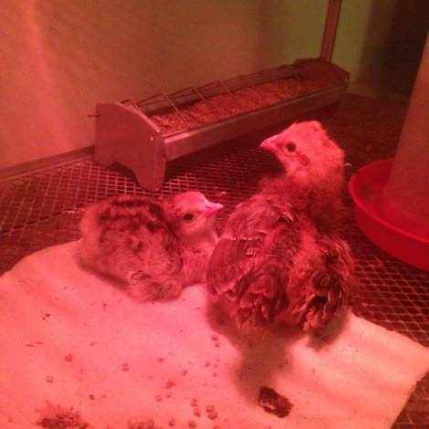 first chick and chicken chick friend