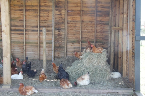 hens on hay