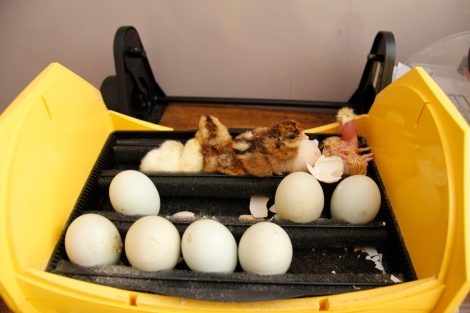 incubator chicks