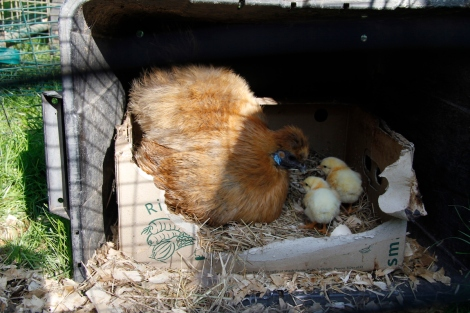silkie and ixworth chicks