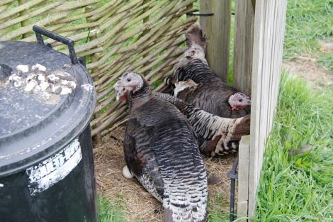 sitting turkeys