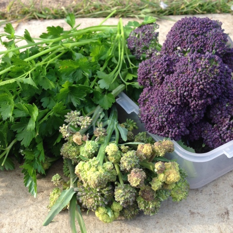 sprouting broccoli and parsley