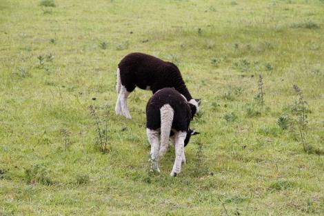 fat little lambs