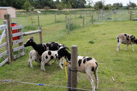 lambs feeding2
