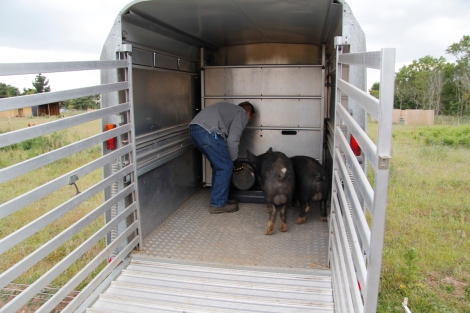 pigs in trailer