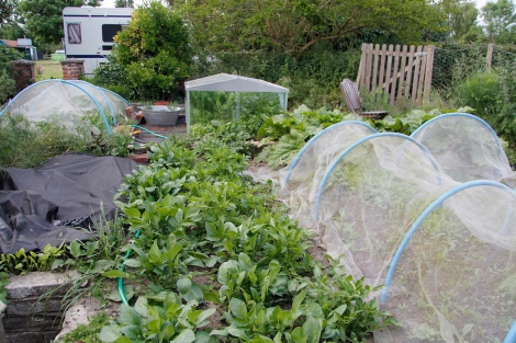potatoes, coldframe, salad and chard