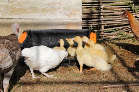 Ducks turkeys and chickens
