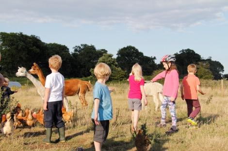 feeding alpacas2