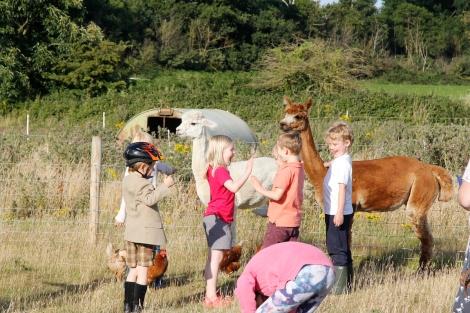feeding alpacas3