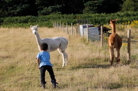 feeding alpacas6
