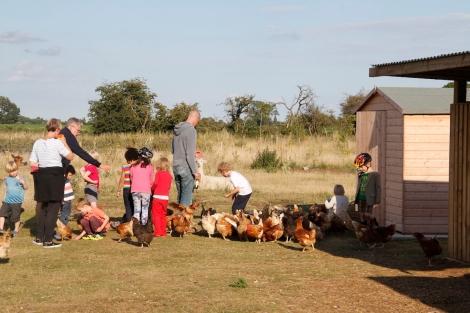 feeding hens