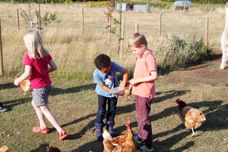 feeding hens2
