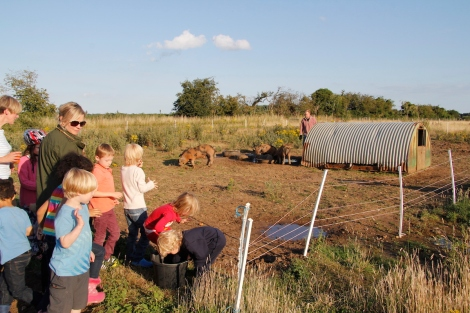feeding pigs apples