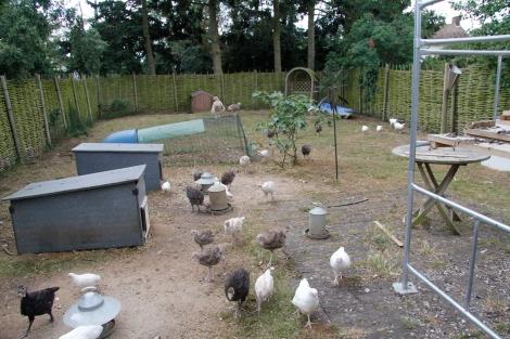garden full of turkeys