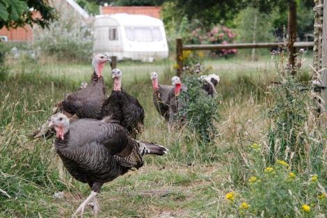 mummy turkeys