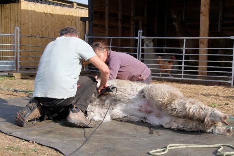 shearing Juniper