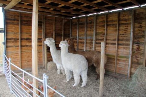 three alpacas