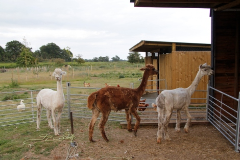 three skinny alpacas