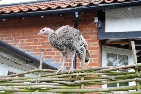 turkey on fence