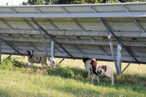 lambs under PV array