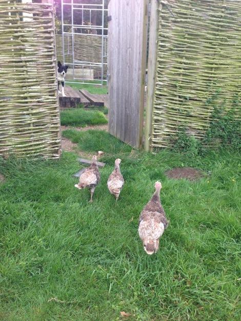 front garden turkeys