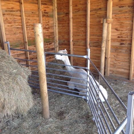 JUniper eating her hay