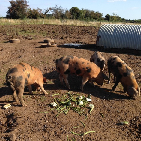 pigs eating their greens