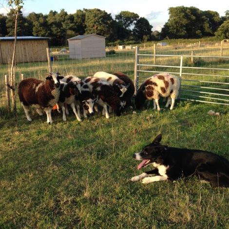 reason behind sheep lineup