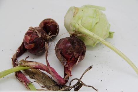 red onion and Kohlrabi