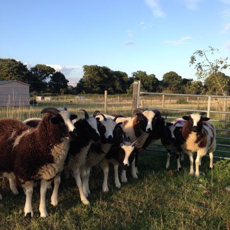 sheep line-up