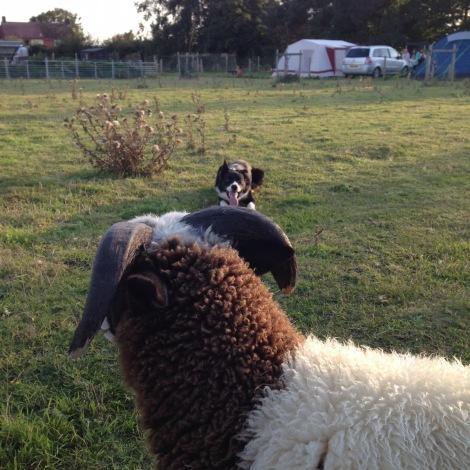 sheepwork
