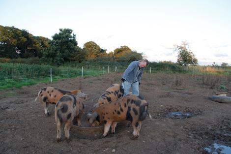 slapmarking pigs
