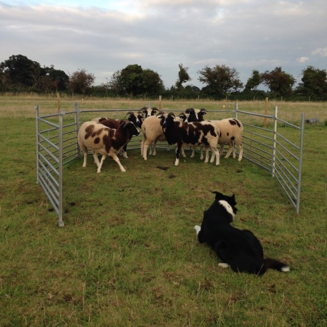 working the sheep