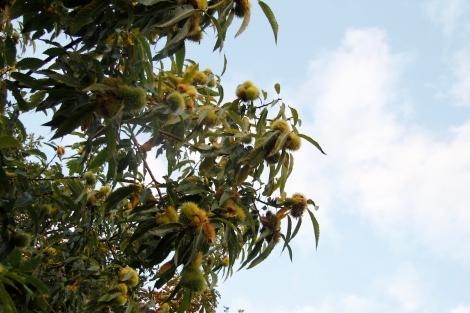chestnut trees2