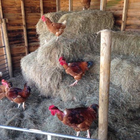 Naked necks and hens