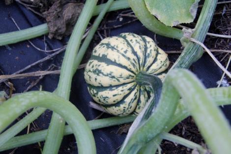 squash growing
