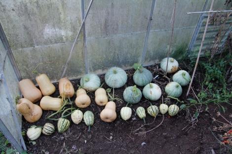 Squash in greenhouse