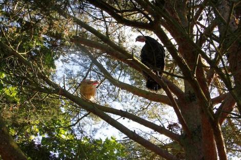 turkey trees
