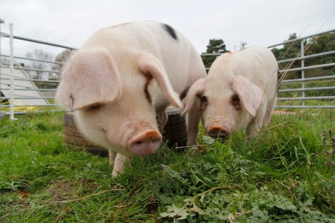close-up piggies