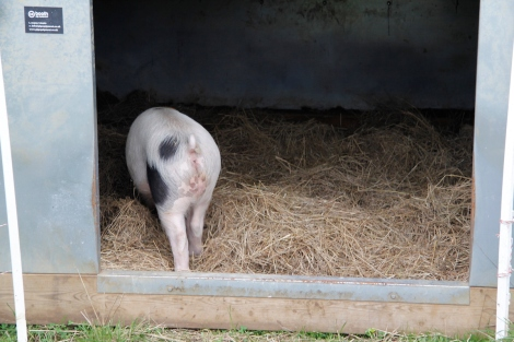 pig ark