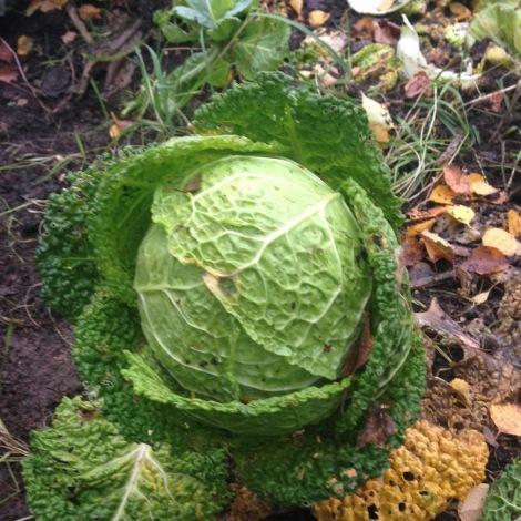 savoy cabbage2