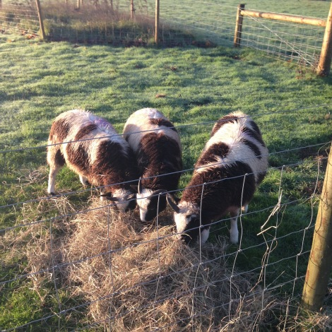 three naughty lambs