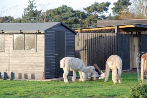 alpacas easting chicken food