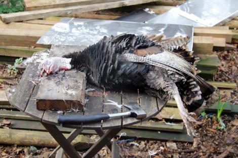 dead turkey