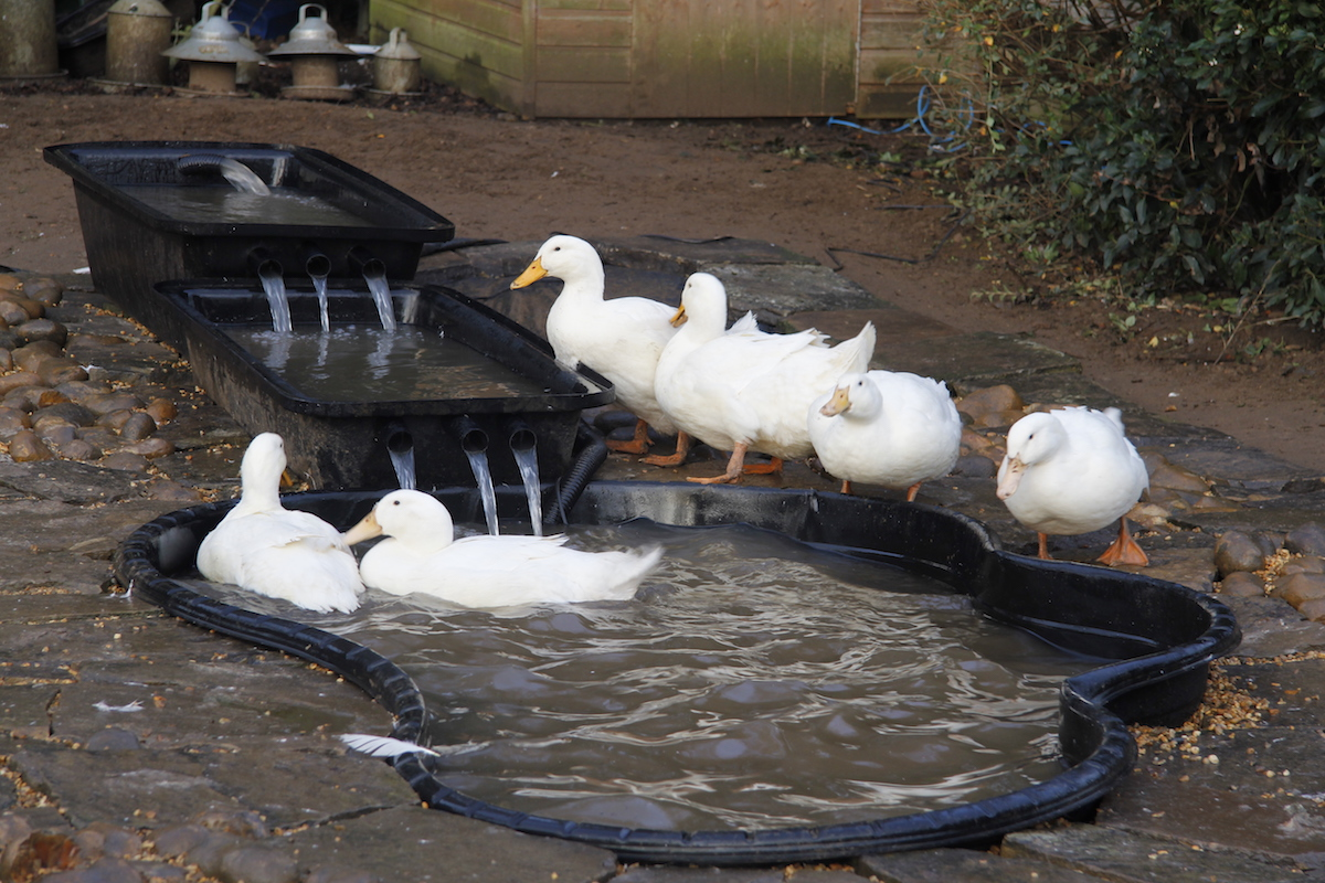 Duck pond smallholding dreams for Design duck pond