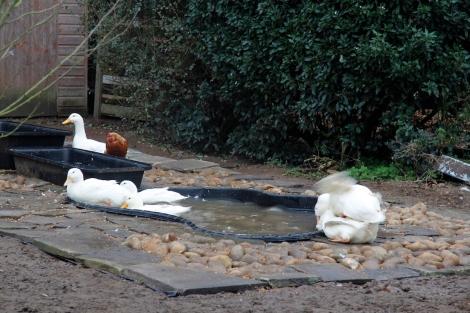 making ducklings
