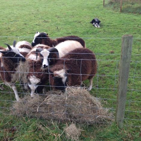 nomming hay