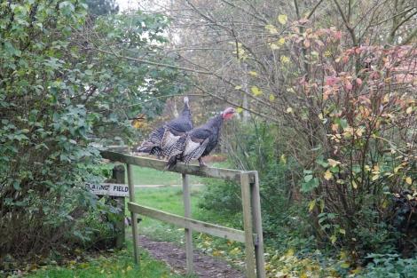 turkeys free ranging